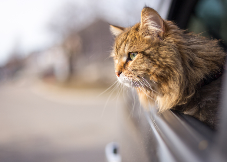 podróż z kotem autem